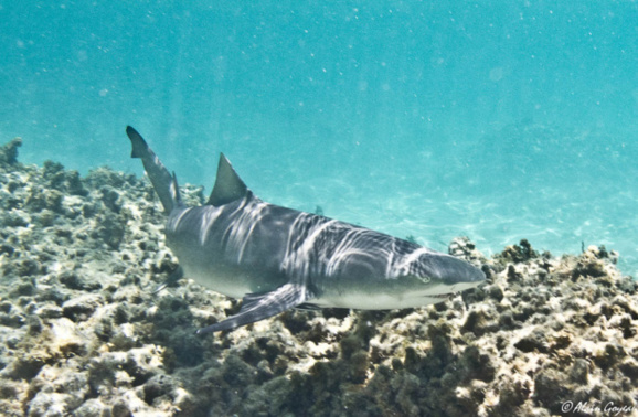 Requin Citron (Negaprion brevirostris).