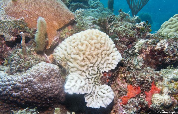 Maladie de la perte de tissu corallien (SCTLD) sur un corail Méandreux.