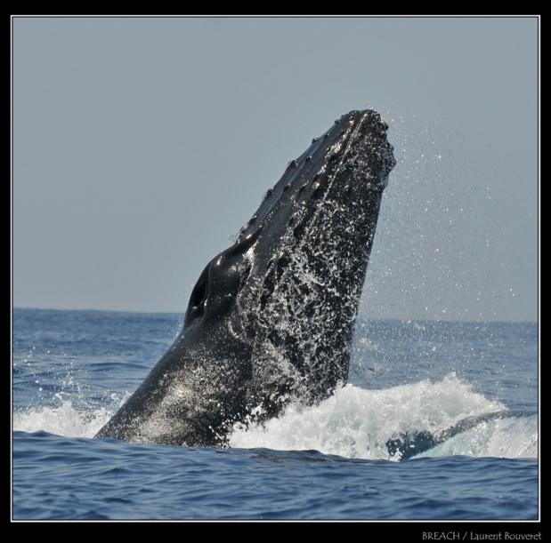 Les baleines à Bosse sont capables de faire des sauts spectaculaires hors de l'eau pour monter leur puissance.