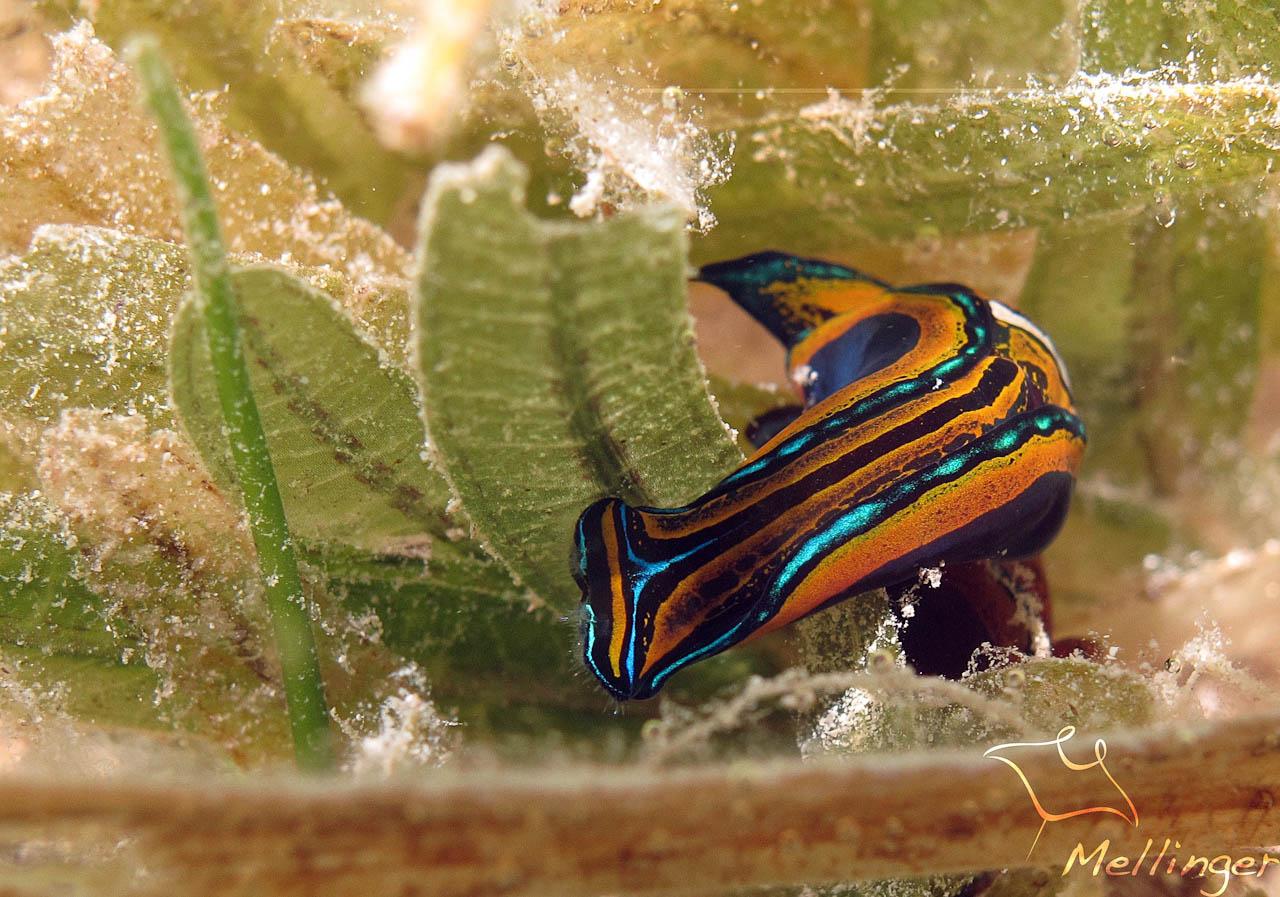 La limace Queue d'Hirondelle détecte les traces de mucus laissées par leur proie.