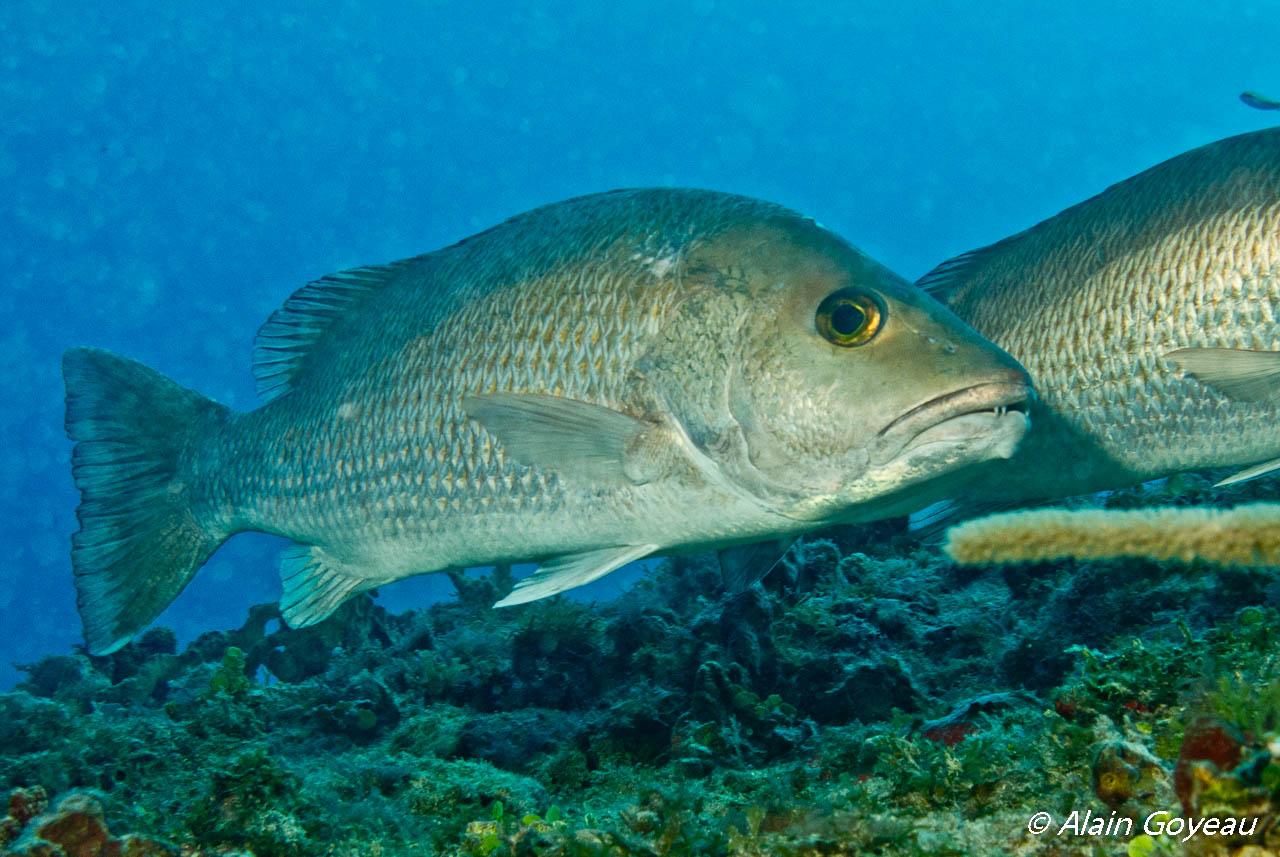 Deux Pagres très curieux nous accompagnent à la plongée de l'Oeil à Port-Louis.