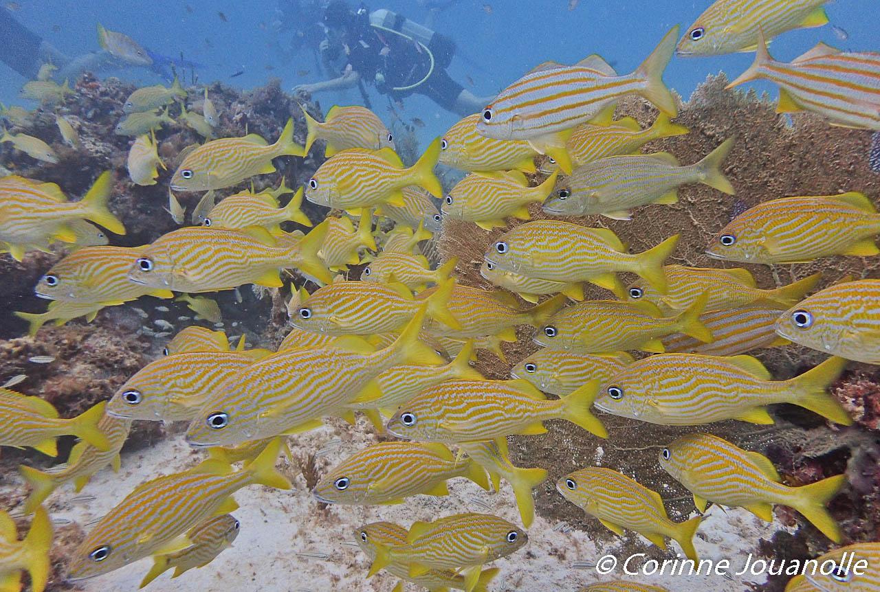 Un banc de Gorettes accompagne les plongeurs.