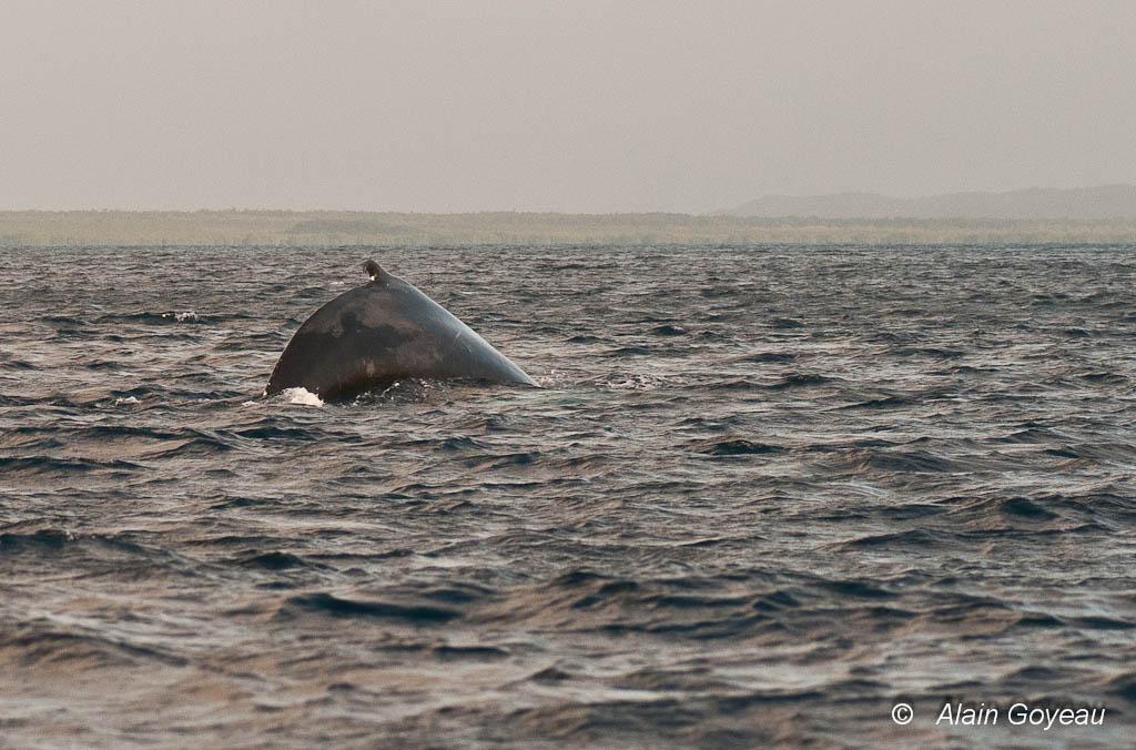 L'aileron dorsal des baleines à Bosse est petit par rapport à la taille de l'animal.