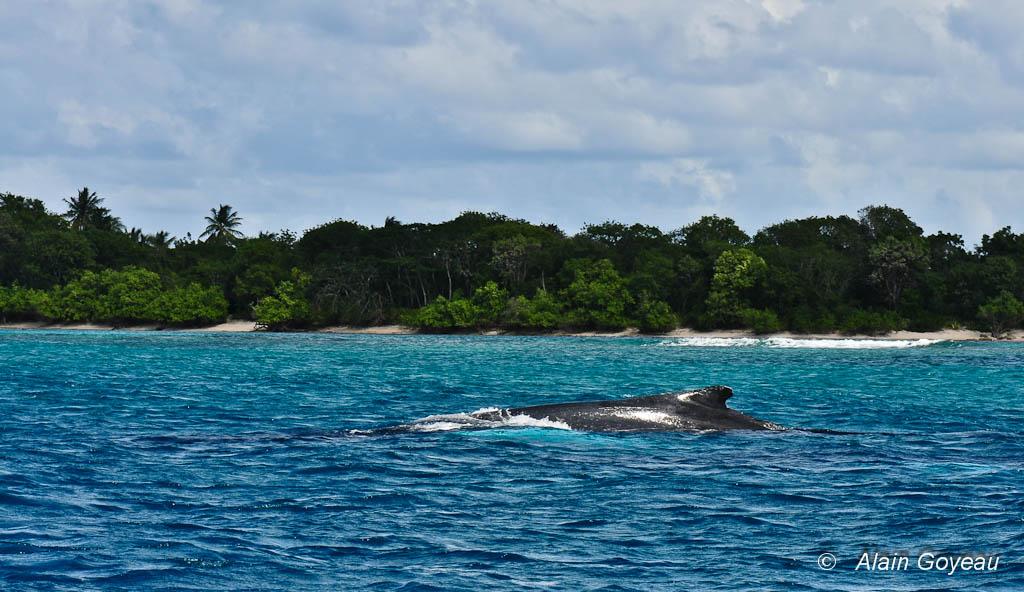Deux baleines à Bosse nagent dans 6 à 8 m d'eau prés de la côte.