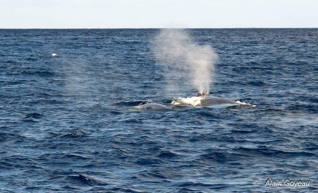 Quand la baleine à bosse fait surface elle expulse par son évent l'air contenu dans ses poumons.