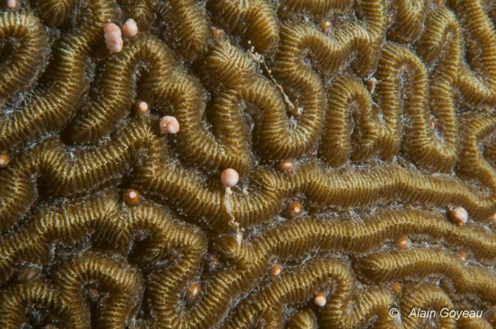 Le Corail-cerveau tient son nom en raison de sa ressemblance à un cerveau humain.