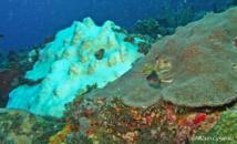 Blanchissement des coraux en Guadeloupe.