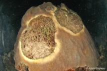 Maladie de la bande jaune sur un corail Etoilé (Montastraea faveolata).