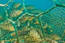 Des dizaines de Mérou de Nassau dans une nasse sans flotteur d'identification.