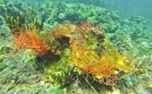Filet accroché à une jeune colonie de Corne d'Elan (Acropora palmata).