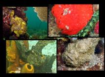 Le Poisson Antennaire adapte sa coloration en fonction de l'environnement..