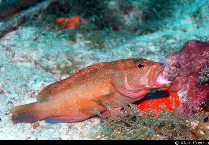 Un Mérou (Epinephelus guttarus) à une station de nettoyage se fait déparasiter par une crevette de Pederson (Pereclimenes pedersoni).