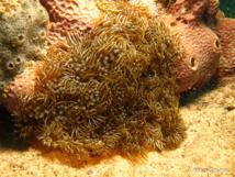 L'Anémone à Rameaux tient son nom des pseudo-tentacules qui se terminent en fourche.