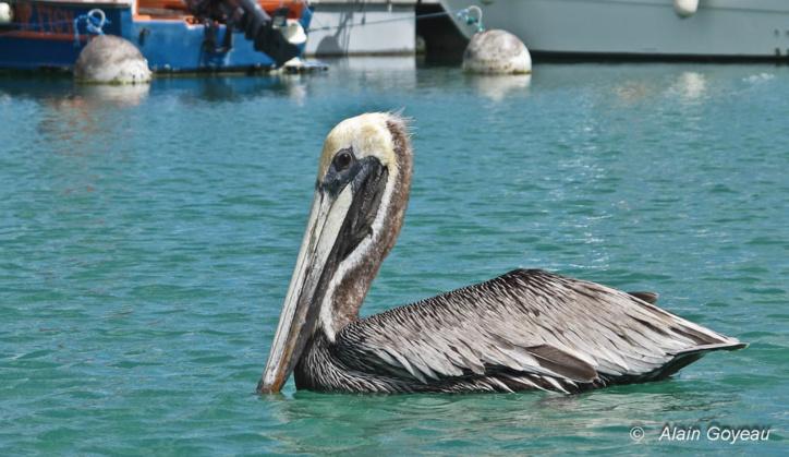 Les Pélicans font parti du paysage de Port Louis en Guadeloupe.