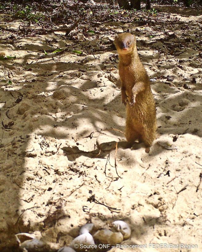 Dressée sur ces pattes arrière la Mangouste Indienne observe les alentours.