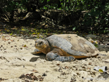 Aprés avoir pondu, la tortue Imbriquée regagne la mer.