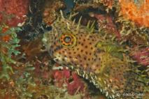 Diodon à Antennes (Chilomycterus antennatus), il posséde des épines souples sur le dessus de la tête comme des antennes.