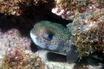 Grand Diodon (Diodon hystrix) observe le plongeur depuis sa cachette.