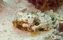 Le Diodon Araignée (Cycklichthys antillarum) trés craintif se gonfle à la moindre alerte.