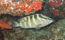Le Mérou de Nassau (Epinephelus striatus) pourrait-être un prédateur naturelle de Pterois volitans.