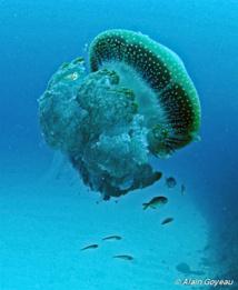 Les méduses sont des animaux au corps mou pourvu de tentacules urticants qui servent parfois d'abri à de petit poissons.