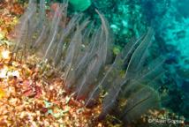 La colonie de l'Hydraire Gymnangium longicauda à l'aspect de plume.