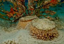 Umbraculum unbraculum est une limace trés discrète malgré sa grande taille de 20 cm.