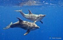 Rencontre avec des Dauphins Sténos pendant une plongée en Guadeloupe.