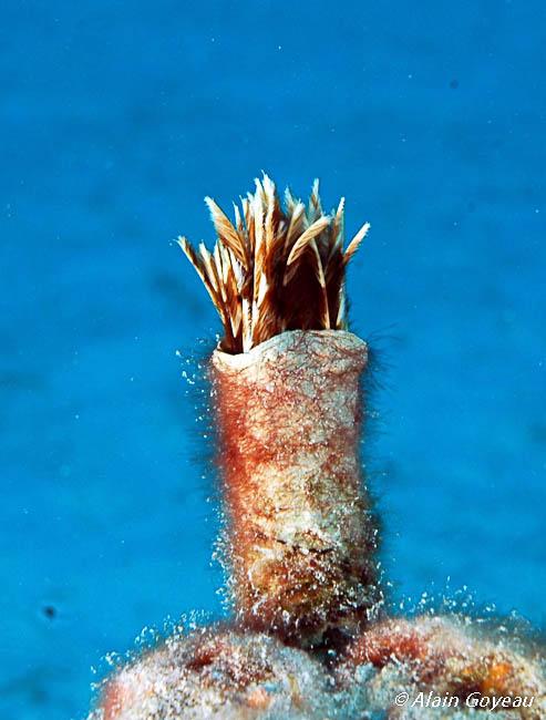 Les Sabelles vivent dans un tube mou.
