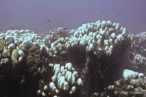 Octobre 2005, phénomène de blanchissemnt des coraux de grande ampleur en Guadeloupe.