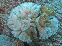 Colonie de corail Eusmilia fastigata en train de mourir.