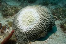 Maladie de la perte de tissu corallien sur un Corail Cerveau.