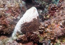 Maladie de la perte de tissu corallien sur un Grand Corail Etoilé.