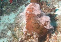 Les éponges femelles émettent des chapelets d'oeufs.