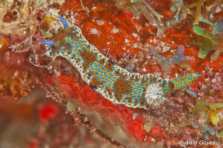 La limace Hypselodoris alaini à été découverte lors de la mission Karubenthos.