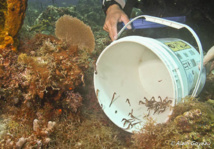 Nos bébés hippocampes nés en aquarium retrouvent leur élément naturel.