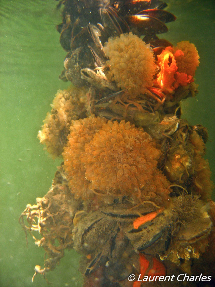 Racine de Palétuviers colonisé par différents organismes.