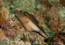 Canthigaster des Caraïbes.