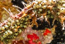 Les minuscules individus de cette colonie d'Ascidies Coloniales (Symplegma viride) mesurent environ 5 millimètres.