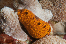 Les siphons inhalants de cette colonie de Synascidie orange se regroupent autour d'un cloaque commun.
