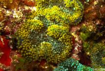 Corallimorphaire de Floride (Ricordea florida).