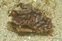 Sous l'éponge, on distingue les pattes du Crabe Dromi.