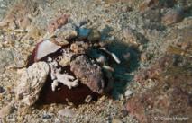 Un Oursin des Sables à Rosace utilise des débris coralliens pour se dissimuler.