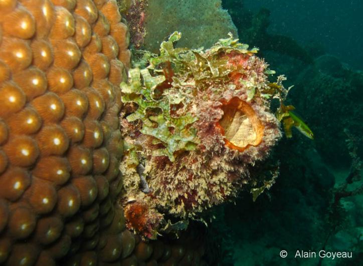La tunique de l'Ascidie Solitaire (Polycarpa spongiabilis) est souvent recouverte d'algues.