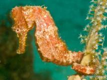 Un hippocampe accroché sur une gorgone se fond dans le décor.