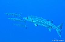 Des Barracudas guettent leur proie dans le courant.