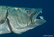 Un Barracuda bouche ouverte attend que le petit Labre termine.