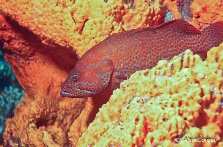 Ce poisson porte plusieurs noms vernaculaires : Mérou grande gueule, mérou couronné rouge, grand gueule rouge. Mais un seul nom binominal : Epinephelus guttatus.