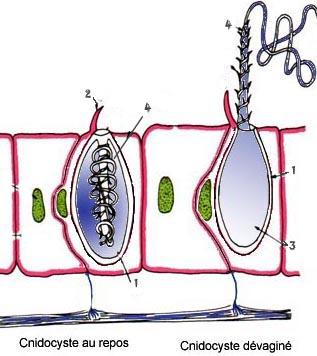 Un cnidosyste avec son filament enroulé et déroulé. Source VieOceane.