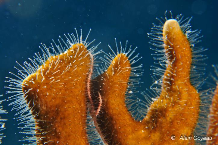"""Les """"poils"""" sont en réalité les polypes du Corail de Feu (Millepora alcicornis). Les cellules urticantes (cnidocystes) sont réparties tout le long du polype."""